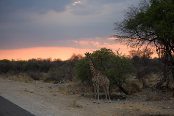 giraffe in africa looking for food