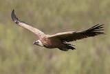 Griffon vulture (Gyps fulvus) - 223662697