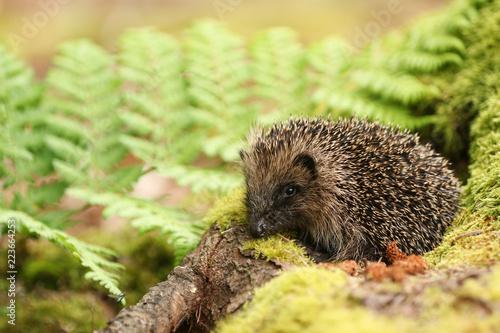 A stunning Hedgehog (Erinaceidae) in its mossy woodland habitat. - 223664253
