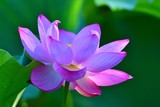 木漏れ日浴びて輝く満開のハスの花3.jpg - 223664803