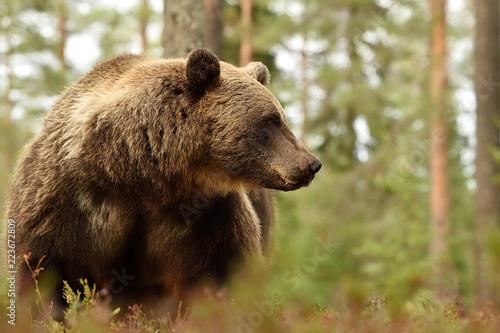 niedźwiedź brunatny w lesie, widok z boku niedźwiedzia