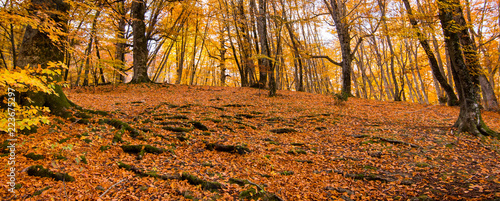 Banner of foliage for background, in Monti Cimini, Lazio, Italy. Autumn colors in a beechwood. Beechs with yellow leaves. - 223675297