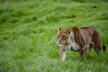 loin in open green area of zoo
