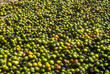 Freshly collected coffee beans. Colorful fresh fruit of a coffee tree. Harvesting and drying of coffee.