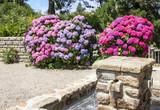 Hortensias en fleurs - 223706230