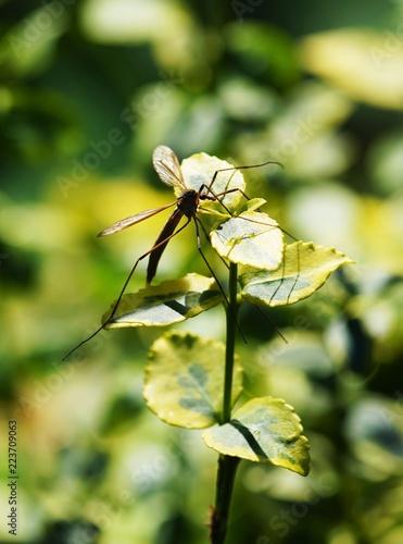 Crane fly on a pond - 223709063
