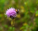 fly pollinating pink thistle flower