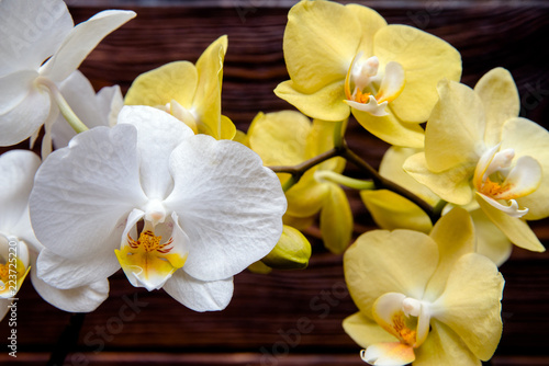 White and yellow orchids on brown background  - 223725220