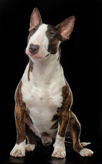 Bullterrier Dog  Isolated  on Black Background in studio © Anna Mandrikyan