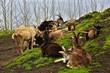 Ziegen bei Remedios auf Sao Miguel, Azoren
