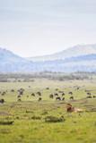 Male lion resting in a savannah in Masai Mara