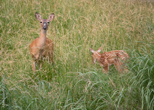 White-tailed deer doe and fawn in high weeds
