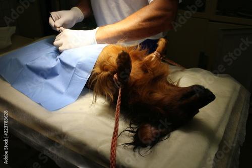 fototapeta na ścianę Neutering (castration) by dachshund dog