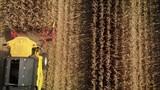 Maispflücker bei der Maisernte - Luftaufnahme - 223792040