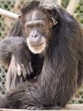 Chimpanzee Chimp Sitting Staring