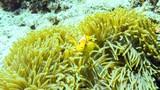 Anemonefish hiding in its anemone, Maldives. - 223807696