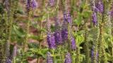 Tilt up on Purple Salvia in bright sunshine - 223831090