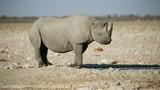 A black (hooked-lipped) rhinoceros (Diceros bicornis) at a waterhole, Etosha National Park, Namibia - 223840019