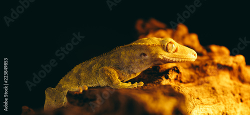 Crested Gecko Portraits