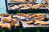 Sea lions at Pier 39 in San Francisco, California - 223865450