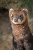 Upright vertical photograph and close ups portrait of a polecat. It is a half length image and the polecat is standing looking forward - 223869299