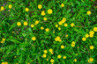 Yellow dandelions on background of green field - 223872625