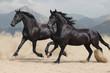 two black Frisian horses run at a gallop