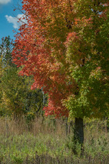 A single maple tree changes from green to red at the edge of the prairie in Afton State Park in Minnesota