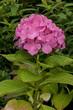 Leinwanddruck Bild - Chinesicher rosa Rhododendron