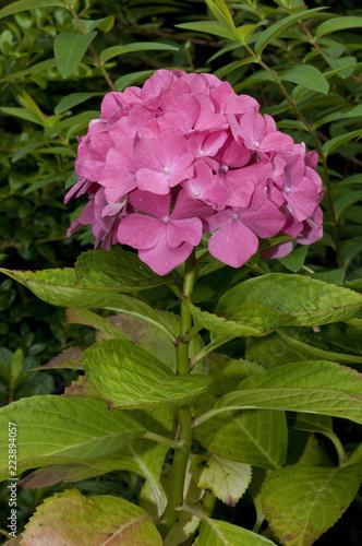 Leinwanddruck Bild Chinesicher rosa Rhododendron