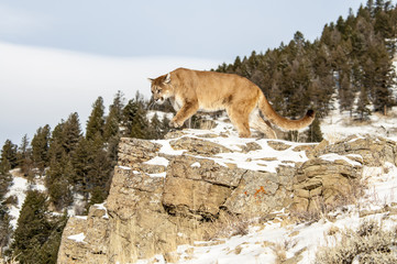 Cougar on Rocky Cliff in Winter