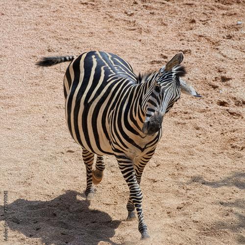 Grant Zebra (species: Equus burchelli boehmi) is dancing. - 223901041