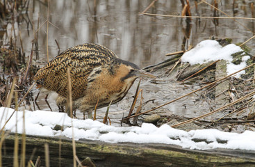 A stunning rare Bittern (Botaurus stellaris) hunting for food in a reed bed on a lake on a snowy cold winters day.