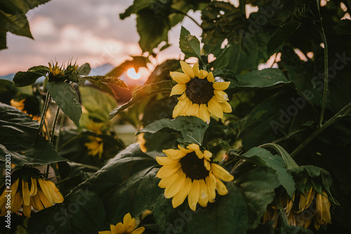 sunflowers in the field against sunset