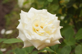 White perfect rose noble form in garden. Rose