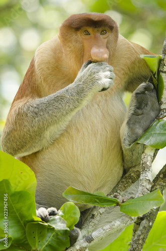 Fototapeta Proboscis monkey seen from the front eating and sitting in a tree