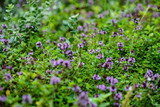 blooming thyme closeup - 223969263