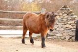Brown shetland pony - 223971296