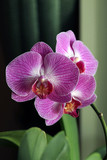 Orchid - 223976006