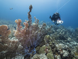 Seascape of coral reef / Caribbean Sea / Curacao with sea fan, scooter diver, various hard and soft corals, sponges - 223980488