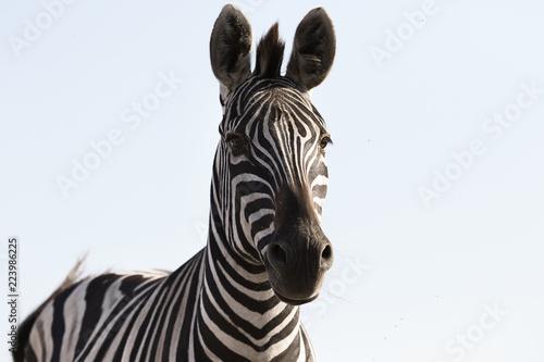 pysk zebry na tle nieba