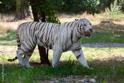 Fototapeta Wild Cat white Bengal Tiger