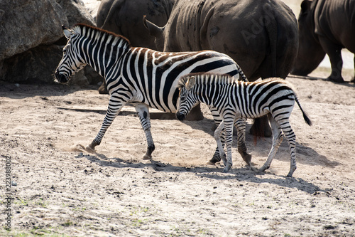 Wild Zebra in Savanna  - 223988002