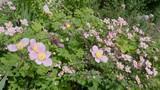 4K slomo Pink flowers blowing in gentle breeze in summer - 224001858