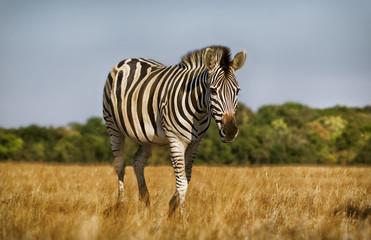 Zebra walk in savannah