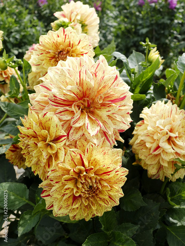 Dahlias, summer and autumn flowers.
