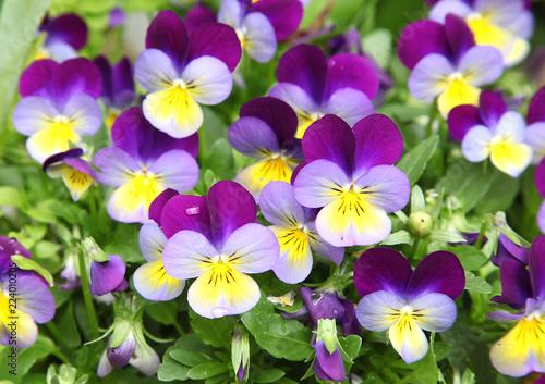 Wall mural Fleurs de Viola cornuta