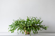 Large succulent house plant on white shelf against white wall. Indoor potted plant background with copy space. Modern room decoration.