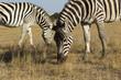 Zebra and foal eat grass