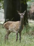 Red deer (Cervus elaphus) - 224024874
